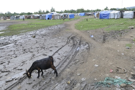 tent city: LEOGANE - AUGUST 27: A goat grazing outside a tent city in Haiti on August 27, 2010 in Leogane, Haiti