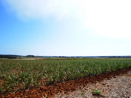 unexplored: The sugarcane fields in Minami-daito island (Okinawa, Japan)