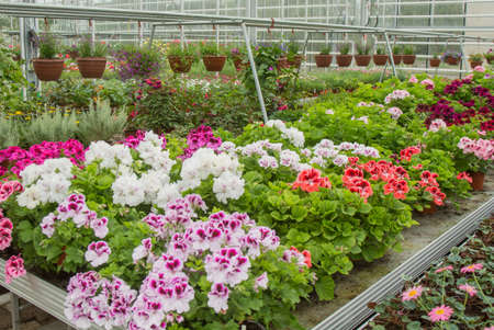 Flowers in greenhouse. Pelargoniums Standard-Bild