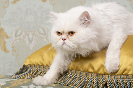 White Persian Cat charging from top of a golden cushion on couch 스톡 콘텐츠