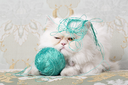 White Persian Cat is bothered by green wool sitting on a couch