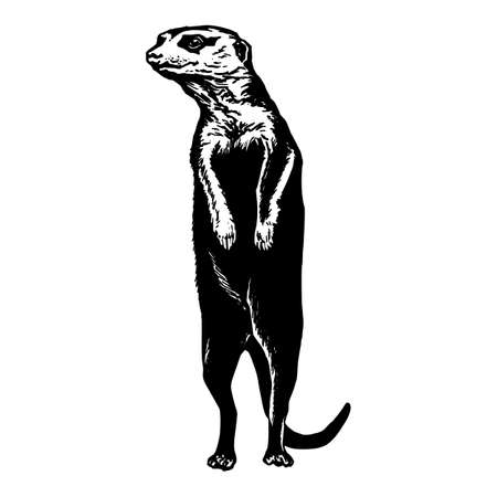 stretched: hand drawn vector sketch silhouette linear illustration of meerkat stretched neck Illustration