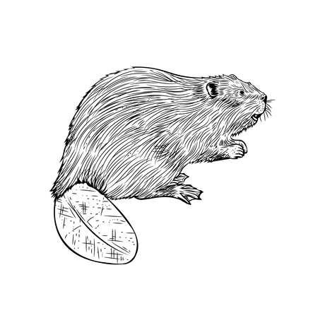 Beaver in hand drawn style, good for brand product logo, also carpenter business logo