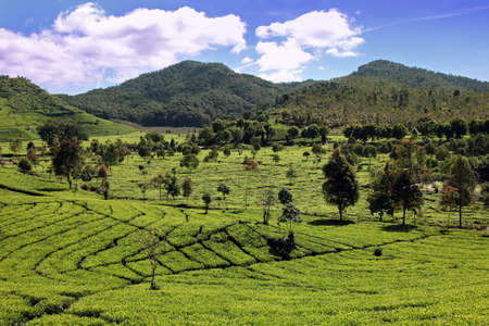 tea plantation in the West Java Indonesia Stock Photo