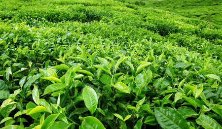 tea estates: Tea Plantation Stock Photo