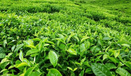 teepflanze: Tee Plantation Lizenzfreie Bilder