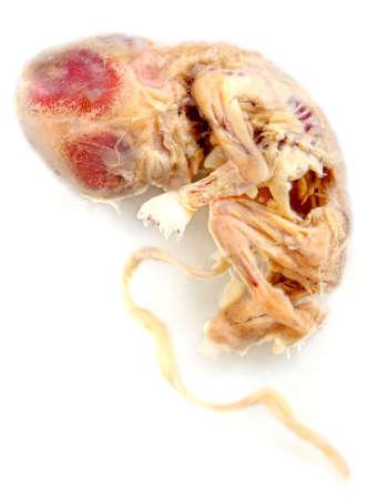 feto: feto de alrededor de tres meses