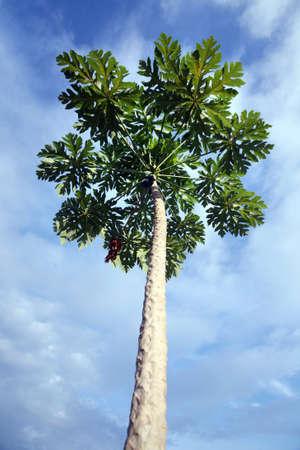 papaya tree Stock Photo - 9277555