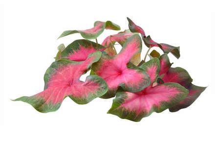 barium: leaf Stock Photo