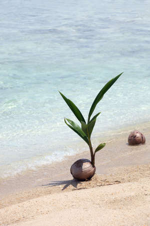 Coconut Seedling photo
