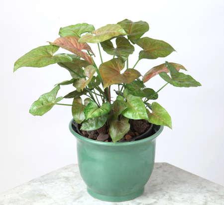Ornamental Plants Stock Photo - 10587591