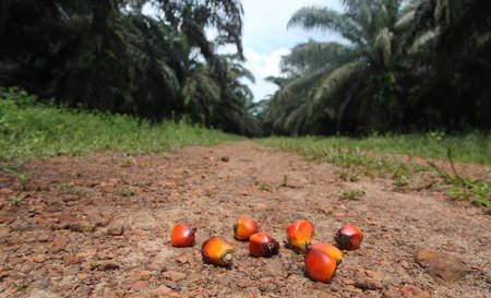 Oil Palm: palm seed Stock Photo