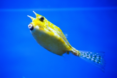 Cowfish photo