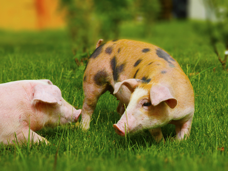 Two pigs in different colours on a farm  Stock Photo