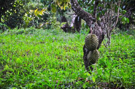 Durian Tree photo