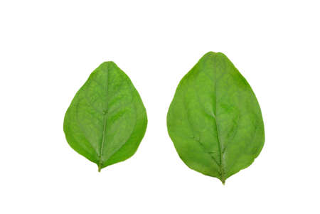 Green leaves isolated on white background. Top view two orange Jessamine leaf (Satin-wood, Cosmetic Bark Tree) ,Space for text in template. Stok Fotoğraf