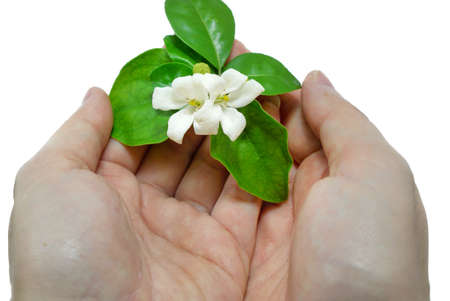 White flowers on a woman's hand isolated on white background. (Orange Jessamine, Satin-wood, Cosmetic Bark Tree), Space for text in template.