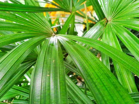 Top view of leaves saw palmetto.  Abstract leaves texture. Natural green wallpaper concept. Ecological Concept, (sabal palm)