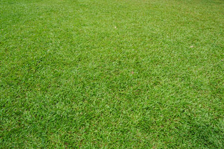 Green background of the ground cover plants. leaves texture. Top view. Natural green concept, Grass texture. Abstract background. Stock Photo