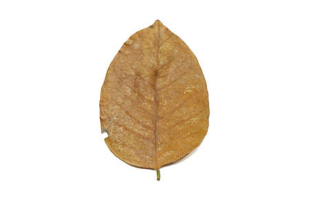 Dry leaves isolated on white background. Golden, autumn leaf, Space for text in template.