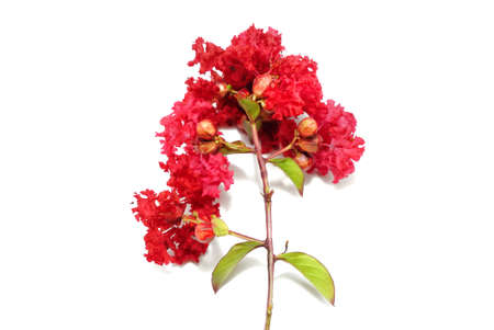 Crape myrtle flower isolated on white background, red Flower on white background, (Lagerstroemia Indica, Lythraceae, Plantae, Inthanin, Indian Lilac), Ecological Concept. Space for text in template.