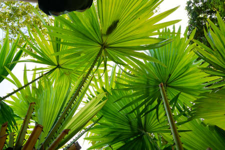 Looking up of leaves saw palmetto, Abstract leaves texture, Ecological Concept, Space for text in template (sabal palm, Serenoa repens)