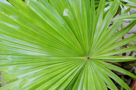 Close up of leaves saw palmetto, Abstract leaves texture, Ecological Concept, Space for text in template (sabal palm, Serenoa repens)