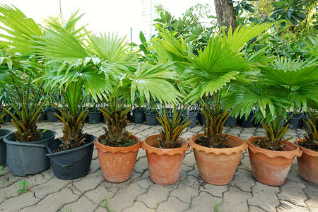 Group of saw palmetto tree, Ecological Concept, Space for text in template (sabal palm, Serenoa repens)