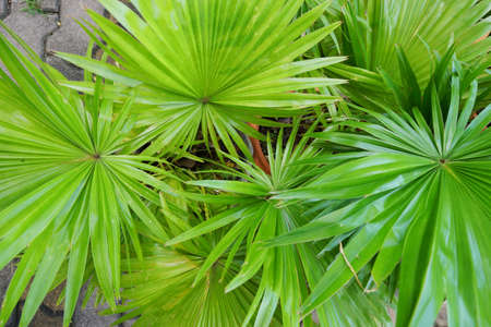 Top view of leaves saw palmetto, Abstract leaves texture, Ecological Concept, Space for text in template (sabal palm, Serenoa repens) Zdjęcie Seryjne