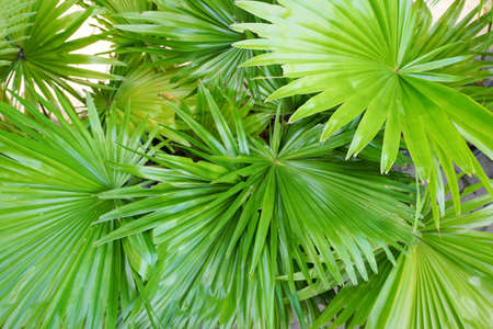 Top view of leaves saw palmetto, Abstract leaves texture, Ecological Concept, Space for text in template (sabal palm, Serenoa repens) Stockfoto