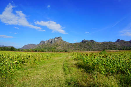 Dried sunflowers field with blue sky, cloud and mountain at Khao Jeen Lae, Lopburi Province in Thailand, space for your text, Many tourists visit here