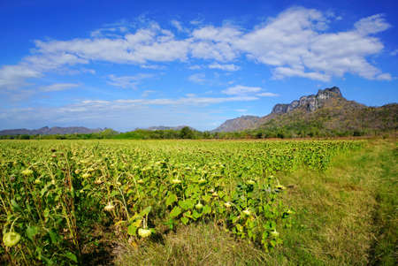 Dried sunflowers field with blue sky, cloud and mountain at Khao Jeen Lae, Lopburi Province in Thailand, space for your text, Many tourists visit here Stock fotó - 106211191