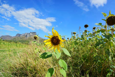 Sunflowers field with blue sky, cloud and mountain at Khao Jeen Lae, Lopburi Province in Thailand, space for your text, Many tourists visit here
