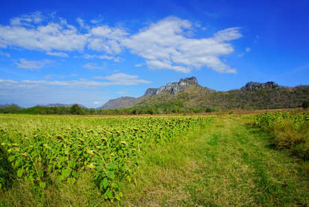 Dried sunflowers field with blue sky, cloud and mountain at Khao Jeen Lae, Lopburi Province in Thailand, space for your text, Many tourists visit here Stock fotó - 106211200