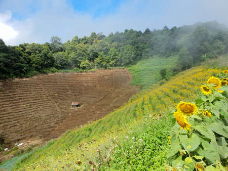 Sunflowers field with blue sky, cloud and mountain at Mon Cham, Chiang Mai Province in Thailand, space for your text, Many tourists visit here