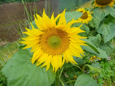 Close up of sunflowers at Mon Cham, Chiang Mai Province in Thailand, space for your text, Many tourists visit here Stock fotó - 116061225