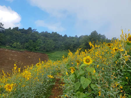Sunflowers field with blue sky, cloud and mountain at Mon Cham, Chiang Mai Province in Thailand, space for your text, Many tourists visit here Stock fotó