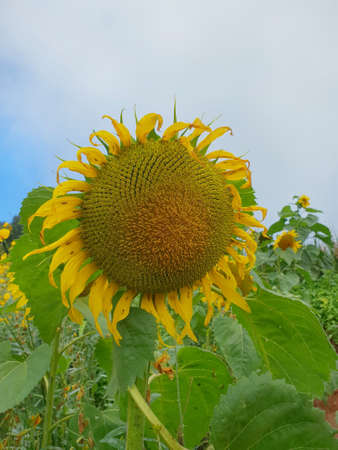 Close up of sunflowers with blue sky and cloud at Mon Cham, Chiang Mai Province in Thailand, space for your text, Many tourists visit here, vertical