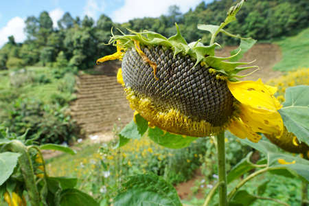 Dried sunflowers field at Mon Cham, Chiang Mai Province in Thailand, space for your text, Many tourists visit here Stock fotó
