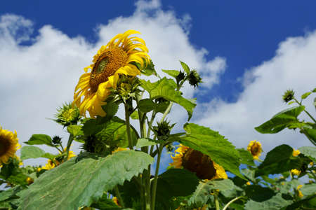 Sunflowers field with blue sky and cloud at Mon Cham, Chiang Mai Province in Thailand, space for your text, Many tourists visit here