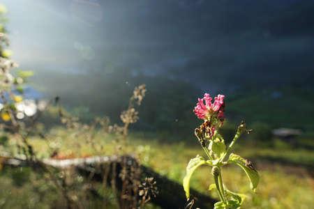 Lantana Flowers camara with sunrise in the morring Thailand (Lantana camara L., Verbenaceae, Cloth of gold, Hedge flower, Weeping lantana, White sage) Standard-Bild
