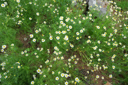 Top view of daisy flowers field, white flower as a background (Bellis perennis, day's eye, Senecio greyi), Soft Focus