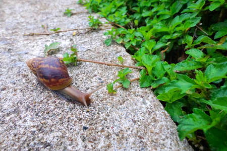 Snails  crawling on the floor (Helix pomatia, Burgundy snail), Ecological Concept, Space for text in template, Selective focus