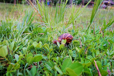 Snails  crawling on the green lawn in forest (Helix pomatia, Burgundy snail), Ecological Concept, Space for text in template, Selective focus