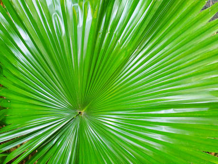 Top view of branch and leaves saw palmetto as a background, Abstract leaves texture, Ecological Concept (sabal palm, Serenoa repens)