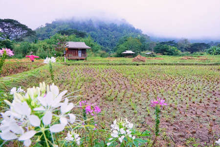 Cornfield with blockhouse and fog in the morning at Thailand, Space for text in template, Travel and Ecological concept Stock Photo