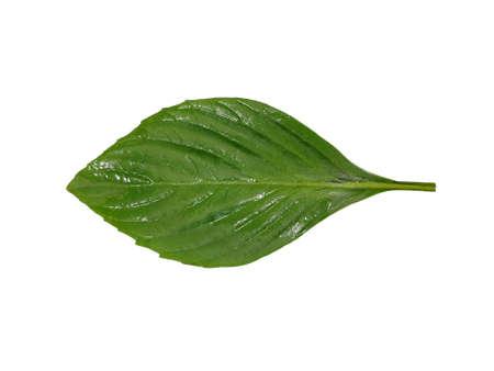 Top view of leaves sweet Basil or Thai Basil isolated on white background. (horapa,Ocimum basilicum Linn.,Lamiaceae), One or single
