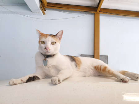 Selective focus of relaxed cat are relaxing on the floor laying in Thailand, Space for text in template, yellow cat