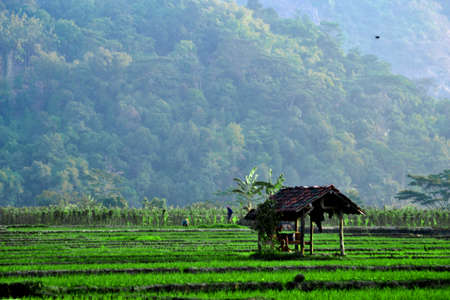 Shack in the middle of rice field