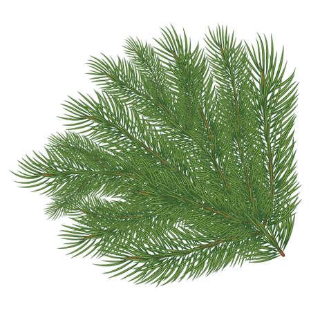 Spruce branch. Vector illustration